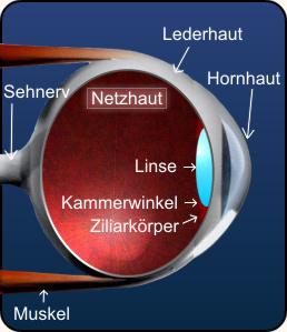 Schema des Auges